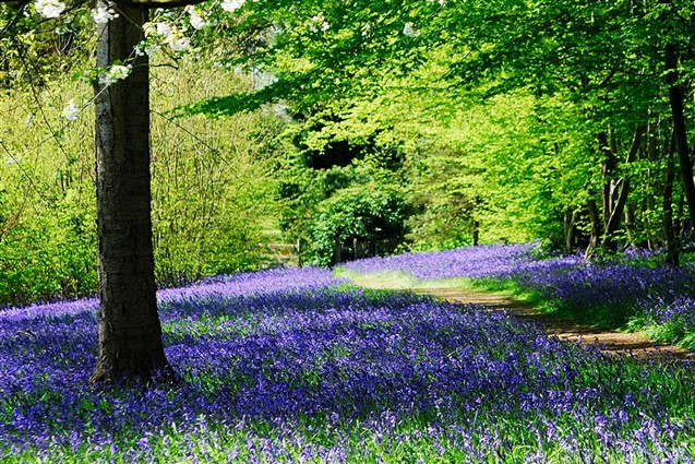 Bluebells at Hole Park