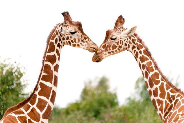 Giraffes at Colechester Zoo